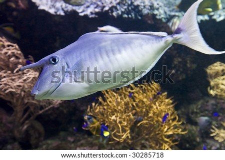 Coral fish with horn underwater. Animal.