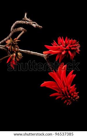 Coral flower (Erythrina)