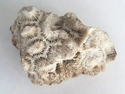 coral fossil on white background
