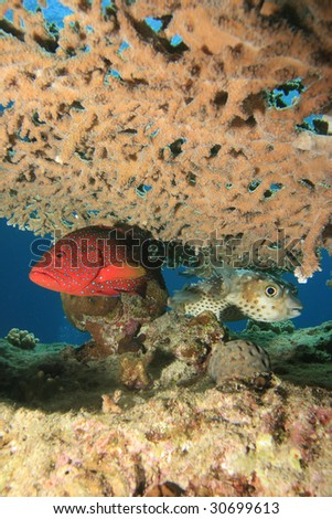 Coral Grouper and Yellowspotted Burrfish shelter under Acropora Table Coral