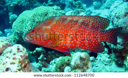 Coral Grouper  - Cephalopholis miniatus fish commonly known as Vermillion seabass as well as Jewel Grouper or Coral Hind
