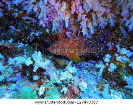 coral grouper on the coral reef