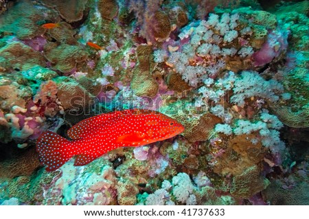 Coral grouper on the reef
