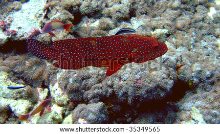 Coral Grouper, South Ari Atoll, Maldives, Indian Ocean