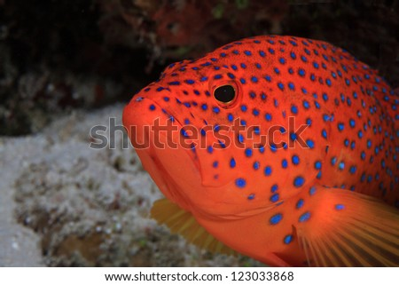 Coral hind (Cephalopholis miniata) in the coral reef