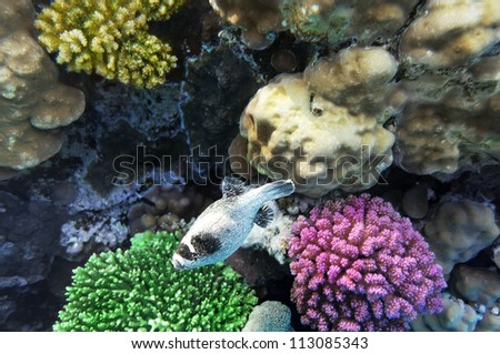 Coral  in the Red Sea.Masked Puffer.Egypt