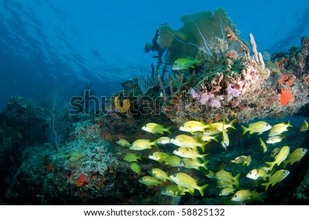 Coral Ledge with school of French Grunts underneath, picture taken in Broward County Florida