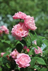 Coral-pink Alba rose Belle Amour flowers in a garden in June 2009