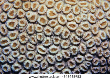 Coral polyps of brain coral (Favia favus) underwater in the coral reef #548468983