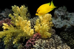 Coral rabbitfish (siganus corallinus)  in the Red Sea, Egypt.
