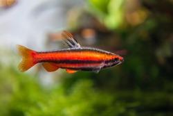 Coral Red Pencil Fish (Nannostomus mortenthaleri)