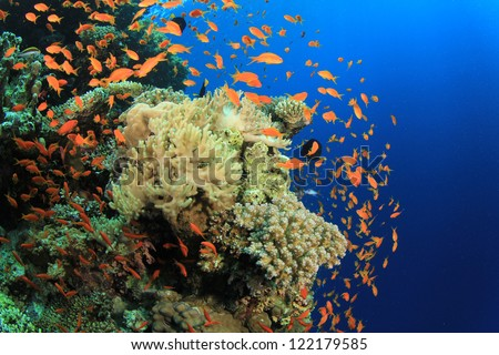Coral reef and Tropical fish in the Red Sea,Egypt