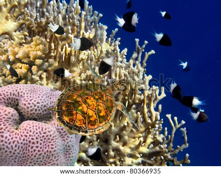 Coral reef and turtle, Red Sea, Egypt.