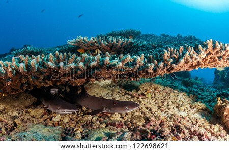 Coral reef and white tip shark sleeping under table coral scuba dive in maldives clear water