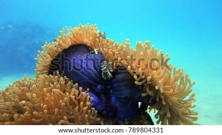 Stock Photo Coral reef. Anemone fish. Diving. Underwater life landscape. Thailand underwater. High resolution