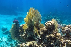 Coral Reef In Red Sea, Egypt. Blue Turquoise Ocean Water, Different Types Of Hard Corals. Branching Fire Coral, Horn Coral, Brain Coral. Underwater Diversity.