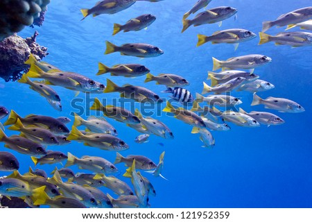 coral reef in red sea with shoal of goatfish - underwater photo