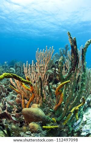 Coral reef off the coast of Roatan  Honduras