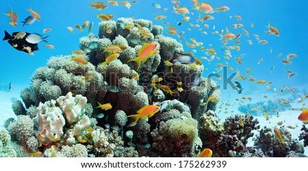 Coral reef scene - panorama - stock photo