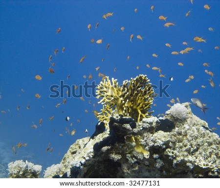 Coral reef scene - red sea