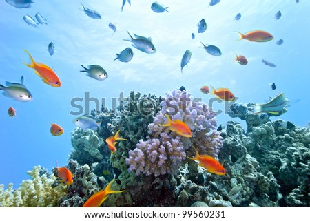 Coral reef scene with anthias shoal fish