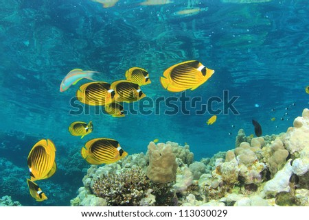 Coral Reef Scene with Fish (Red Sea Raccoon Butterflyfish)