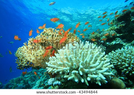 Coral Reef with Acropora and Fire corals - stock photo