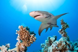 Coral reef with big shark.