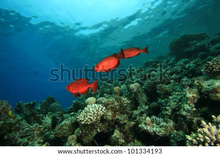 Coral Reef with Common Bigeye Fish - stock photo
