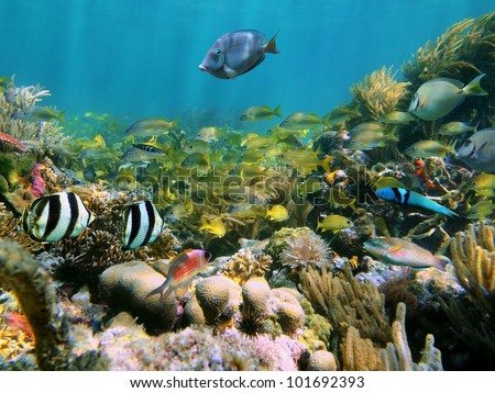 Coral reef with school of colorful tropical fish in the Caribbean sea