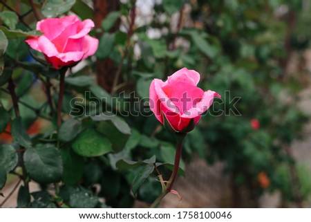 Coral rose flower in roses garden. Top view. Soft focus.Pink rose flower in roses garden with raindrops.Beautiful pink rose in a garden.Cream rose flower with its buds