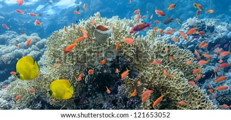 Coral scene - panorama - stock photo