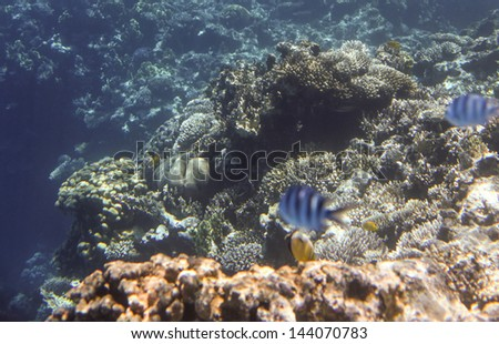 Coral scene with tropical fish at Red Sea, Egypt