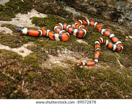 Coral Snake, Lampropeltis zonata multicincta (mimic) - stock photo