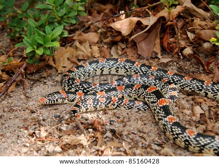 Coral Snake mimic, the Texas Long-nosed Snake, Rhinocheilus lecontei tesselatus, a brightly colored red, black and white snake