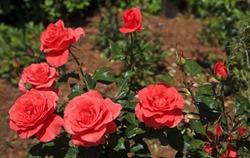 Coral Tea Roses