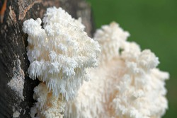 Coral tooth fungus, Hericium coralloides, also known as monkey's head, lion's mane, and bear's head, is a traditional and highly  appreciated medicinal fungus.