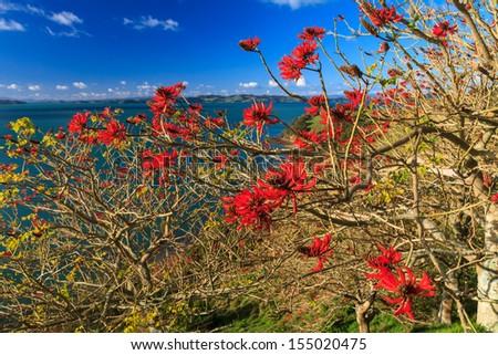 Coral Tree, Duder Regional Park, Auckland, New Zealand