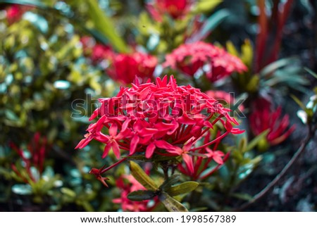 Coralito, a beautiful flower with a tropical climate, this time is captured in Colombia, in the llanera region, where the biodiversity is stupendous, highlighting the vivid colors of its landscapes an Stock photo ©