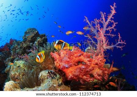 Corals, Anemone and Clownfish in Red Sea, Egypt