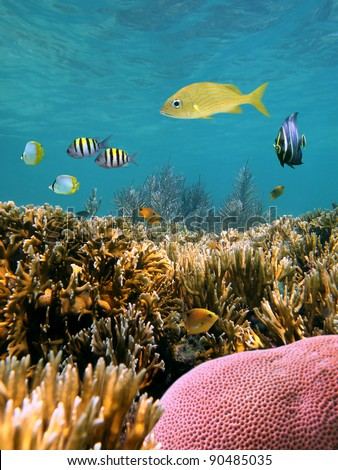 Corals underwater with tropical fish in the Caribbean sea, Mexico