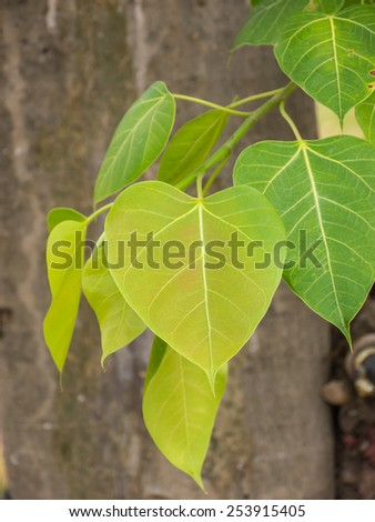 Cordate leaf or heart shaped leaf, symbol of Buddhist religion