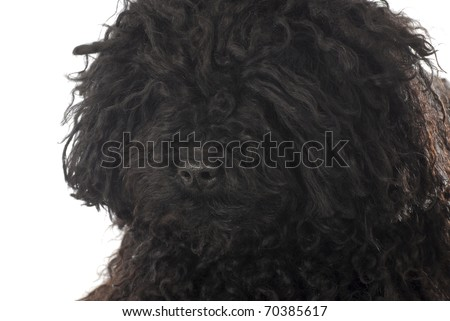 corded puli head portrait on white background