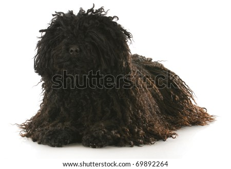 corded puli laying down with reflection on white background