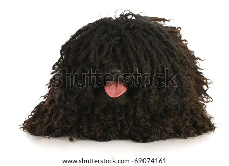 corded puli panting - hungarian herding dog laying down on white background