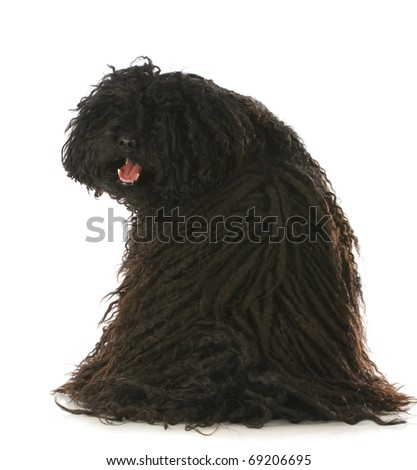 corded puli sitting with back to viewer looking over shoulder with reflection on white background