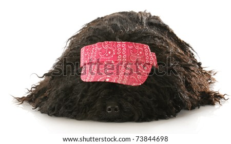 corded puli wearing red hat laying down on white background