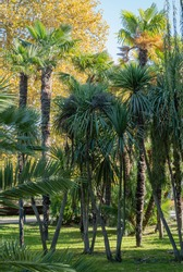 Cordyline australis, commonly known as cabbage tree or cabbage tree in landscape park. City center of resort of Sochi. Lush green long leaves on trunk of exotic plant.