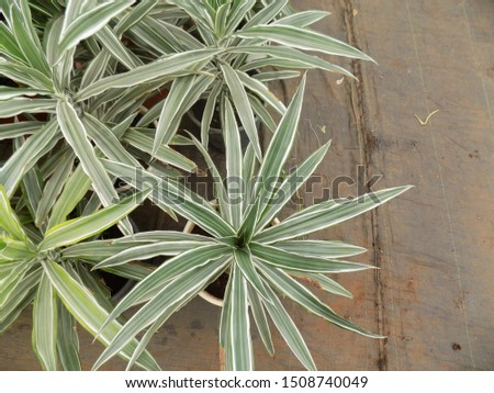 cordyline plant for indoor gardening, indoor house decorations and natural art