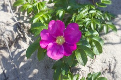Core of Pink wild rose close up Baltic Beach